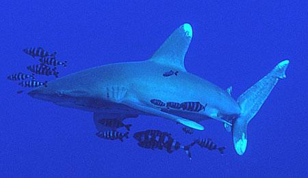 Oceanic whitetip shark from the Red Sea. Photo © Steve Jones