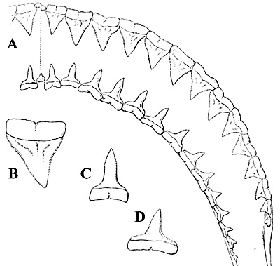 Oceanic whitetip shark dentition, A. Upper and lower teeth, left-hand side, B. Sixth upper tooth, C. Second lower tooth, D. Eighth lower tooth. Image courtesy Bigelow and Schroeder (1948) FNWA