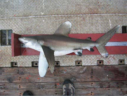 Oceanic whitetip sharks grow to large sizes. Photo © Craig Knickle