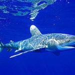 Oceanic whitetip shark (Carcharhinus longimanus) underwater. Photo © Doug Perrine