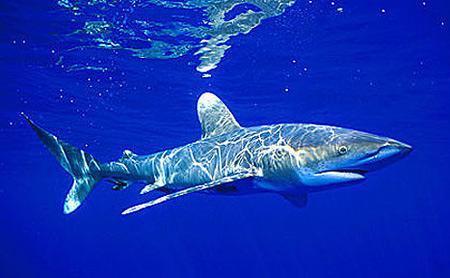 Oceanic whitetip shark (Carcharhinus longimanus) underwater. Photo © Doug Perrine