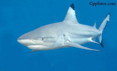 Carcharhinus melanopterus – Discover Fishes
