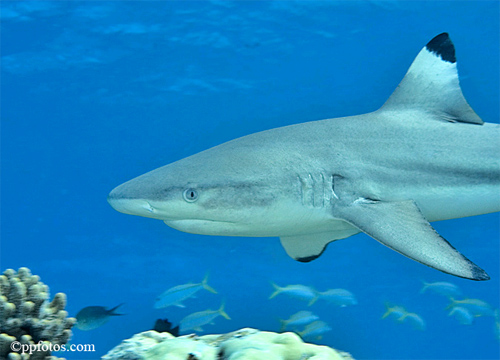 The fins of the blacktip reef shark are all tipped in black. Photo © Pasquale Pascullo