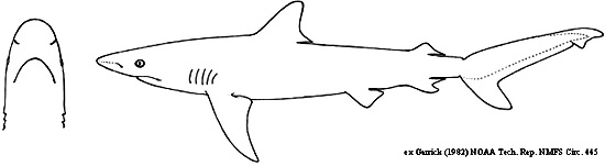 Carcharhinus obscurus. Image courtesy Garrick (1982) NOAA Tech. Rep. NMFS Circ. 445