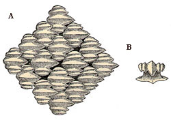 A) Top view (magnified) of dermal denticles of the silky shark and B) rear view of a single denticle. Images courtesy Radcliffe (1916) Bull. Bur. Fish. Circ. 822