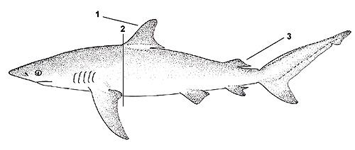 Dusky shark (Carcharhinus obscurus). Illustration courtesy FAO, Species Identification and Biodata