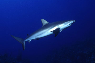 Caribbean reef shark. Photo © George Ryschkewitsch