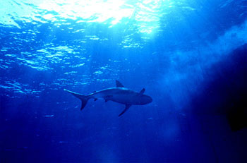 The Caribbean reef shark infrequently attacks humans. Photo © George Ryschkewitsch