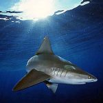 Sandbar sharks lives in shallow coastal waters. Photo © Doug Perrine