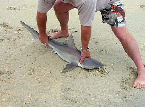 The sandbar shark has been valuable to recreational fishers as a gamefish. Photo © Shannon Welford