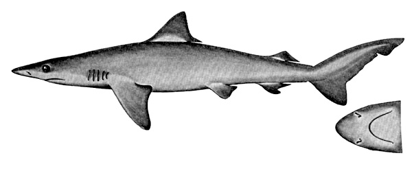 Smalltail shark. Illustration courtesy Field Guide to Eastern Pacific and Hawaiian Sharks, U.S. Fish and Wildlife Service 1967