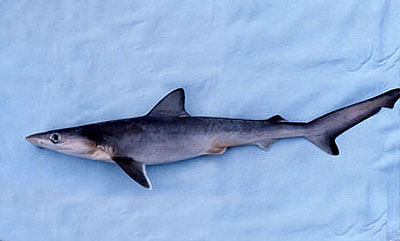 Smalltail sharks feed on other elasmobranchs including young sharpnose sharks (pictured above). Photo © George Burgess