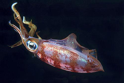 Night sharks feed on squid. Photo © Doug Perrine