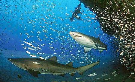 A pair of sand tiger sharks. Image © Doug Perrine