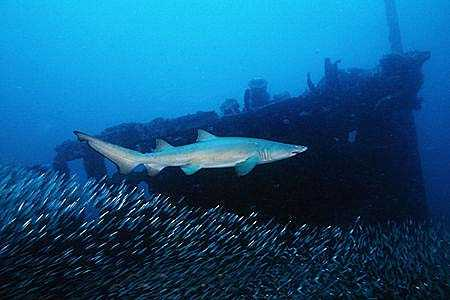 Sandtiger shark near a shipwreck. Image © Doug Perrine