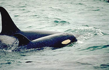 Killer whales: mother and calf. Photo courtesy National Marine Mammal Laboratory