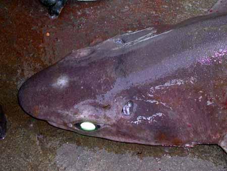 Gulper sharks have green eyes. Photo courtesy NOAA