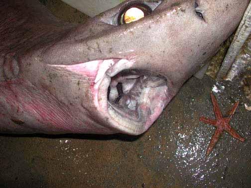 Gulper shark dentition consists of broad, blade-like teeth. Photo courtesy NOAA