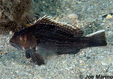 Black seabass. Photo © Joe Marino