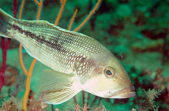 Coloration of the black seabass is variable, ranging from smoky gray, to dusky brown to blue-black with a paler underside. Photo © Don DeMaria