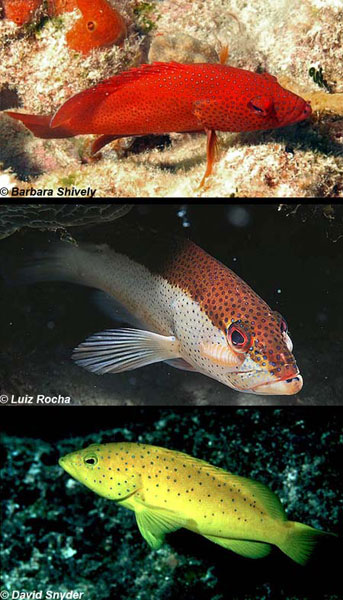 Three color morphs of the coney. Photos © Barbara Shively, Luiz Rocha, David Snyder