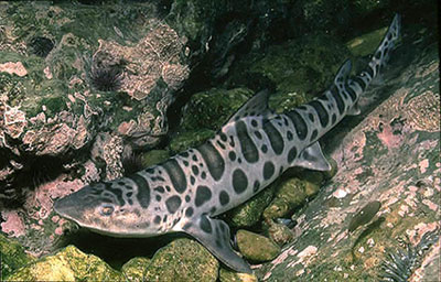 The leopard shark is similar in coloration to the swell shark. Photo © Jeremy Stafford-Deitsch