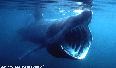Basking Shark. Photo © Jeremy Stafford-Deitsch