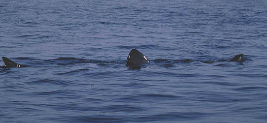 Basking shark at the surface showing exposed tip of snout (far right), 1st dorsal fin and upper lobe of caudal fin. Photo © Jeremy Stafford-Deitsch