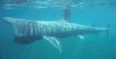 Basking Shark. Photo © Dan Burton