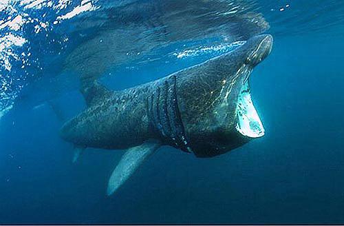 cetorhinus maximus discover fishes
