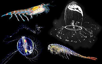 Zooplankton. Photo courtesy U.S. Geological Survey