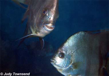 Atlantic Spadefish. Photo © Judy Townsend
