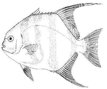 Atlantic spadefish. Line illustration courtesy NOAA