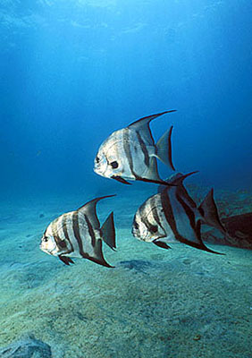 Atlantic spadefish. Photo © Doug Perrine
