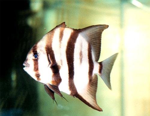 Atlantic spadefish in an aquarium. Image courtesy NOAA