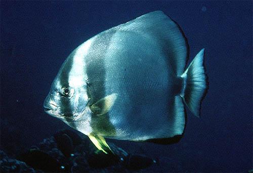 Orbiculate batfish. Photo courtesy U.S. Geological Survey