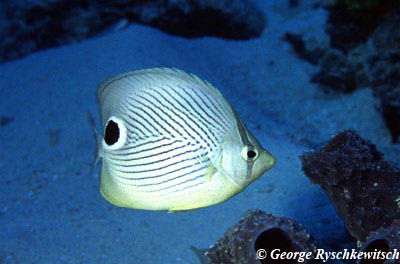 Foureye Butterflyfish. Photo © George Ryschkewitsch