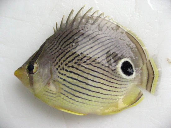 Foureye butterflyfish. Photo © John Soward