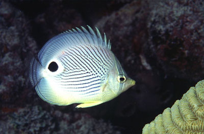 Foureye butterflyfish is harvested for the aquarium trade. Photo © George Ryschkewitsch