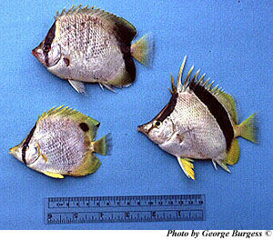Three species of Butterflyfish. Top: Chaetodon sedentarius, bottom left: Chaetodon ocellatus, bottom right: Chaetodon aya. Photo © George Burgess