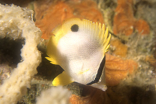 Adult spotfin butterflyfish searching for food. Photo © Kerri Wilk