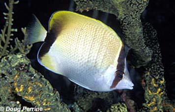 Reef Butterflyfish. Photo © Doug Perrine