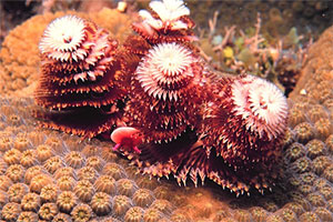 The christmas tree worm is an example of a polychaete. Photo courtesy NOAA