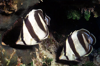 Banded butterflyfish. Photo © George Ryschkewitsch