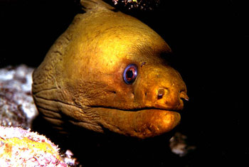 The green moray is a predator of this butterflyfish. Photo © Don DeMaria