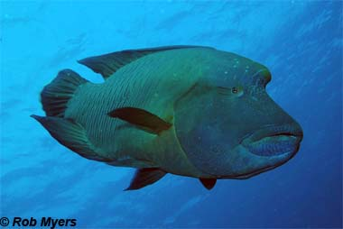 Humphead wrasse. Photo © Rob Myers