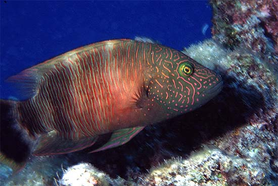 Female humphead wrasses are reddish-orange while the males are blue to green in color. Photo © George Ryschkewitsch