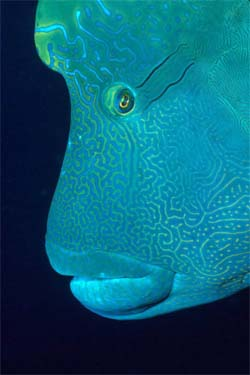 "Humphead wrasses are considered ""Endangered"" by the IUCN. Photo © Klaus Jost"