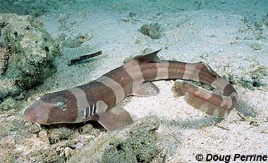 Brownbanded bambooshark. Photo © Doug Perrine