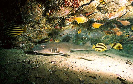 Adult brownbanded bamboo sharks are light brown and lack color patterns on the body. Photo © Doug Perrine
